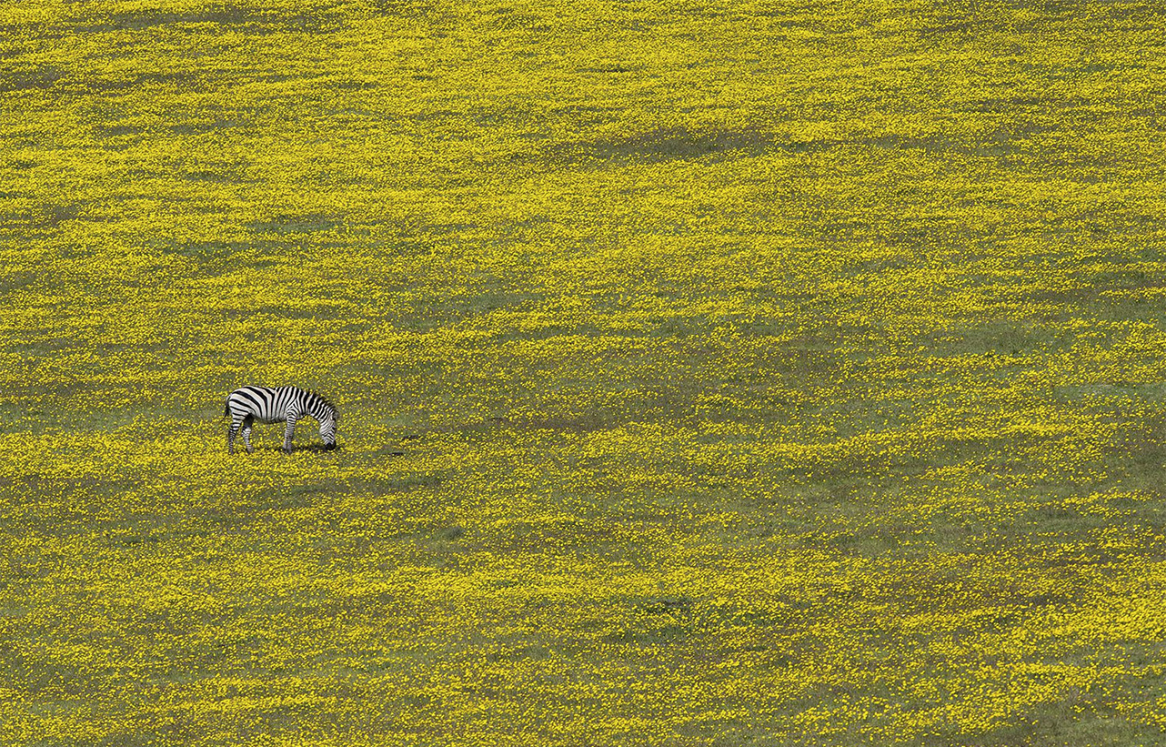 zebra yellow field munich exhib